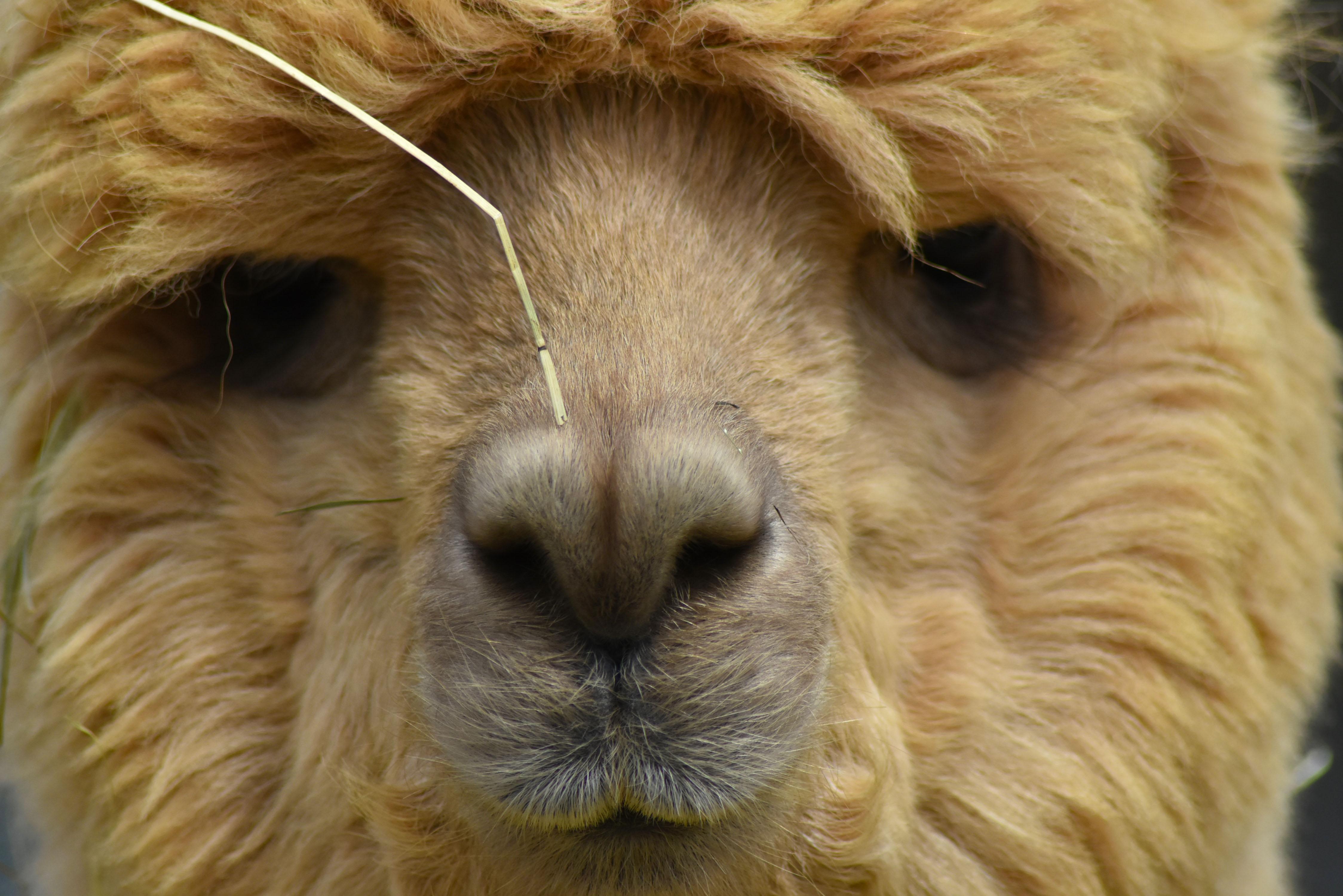 Alpaca interrogation