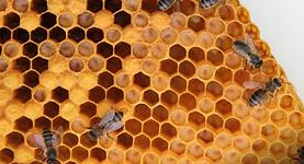 abeille 3.PNG