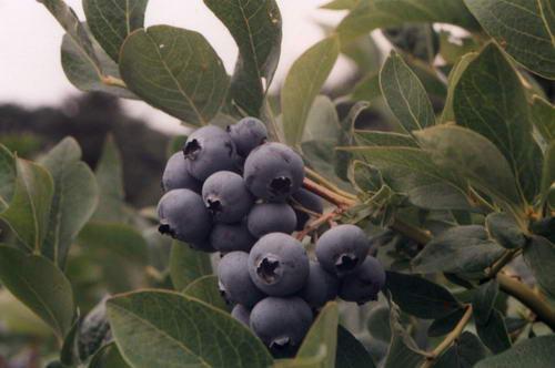 blueberries1.jpg