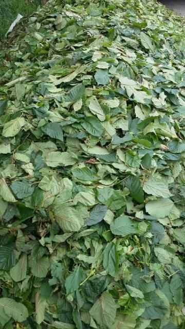 fresh_leaves