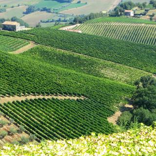 Le vigne del nostro Marchei