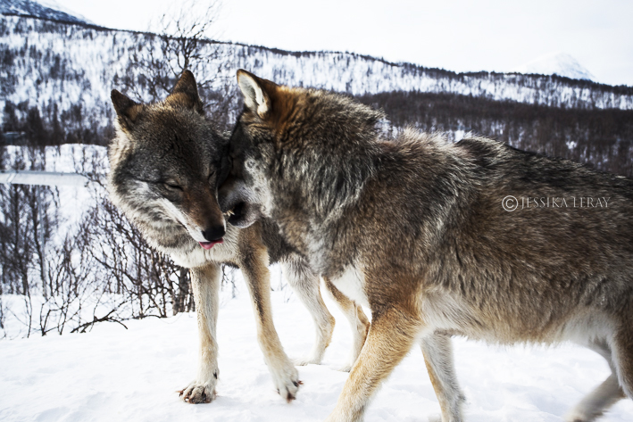 Polar Park's wolves
