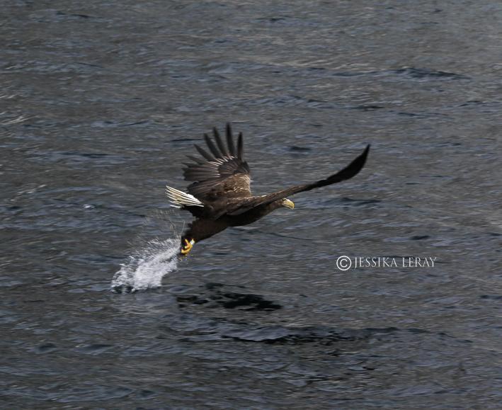 sea eagle, solvaer, norvege