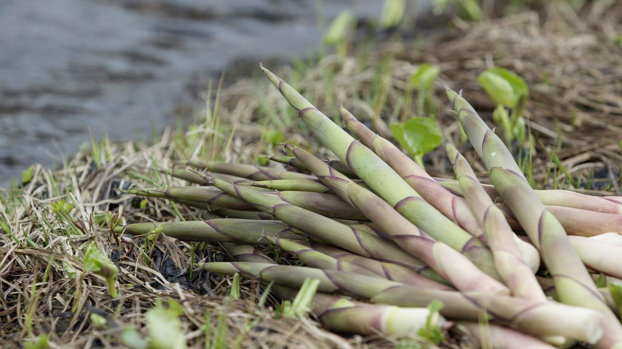 Gassan bamboo shoot