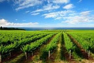 Vineyard 3 x 2.jpg