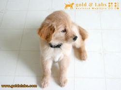 Golden Retriever ready basic obedience training