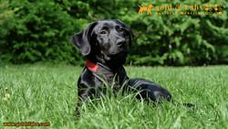 Guide Dog Rare Black