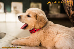 Guide Dog ready to adopt