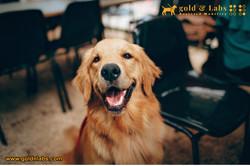 Golden Retriever Guide Dog ready for basic training