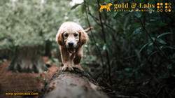 Golden Retriever Guide Dog showing some skills