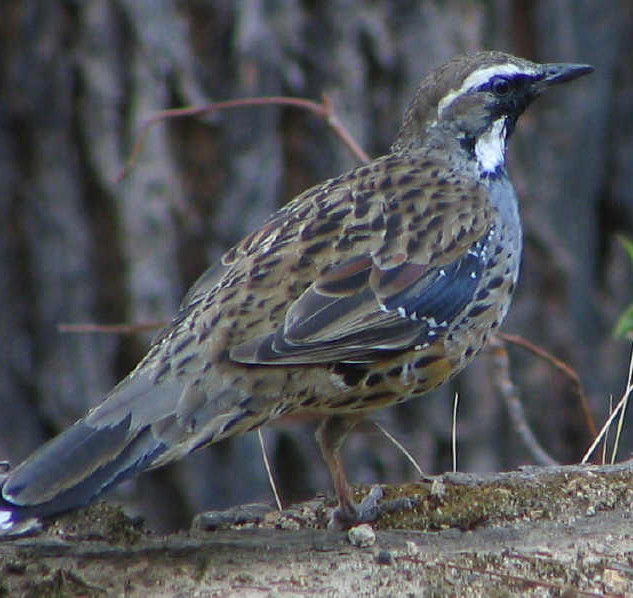 Spotted Quail-thrush     Photo - Frank P