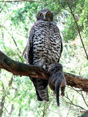 Powerful Owl.jpg