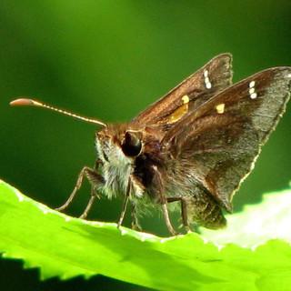 Lilac Grass-skipper