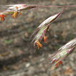 Silvertop Wallaby-grass