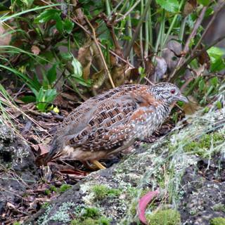 Painted Button-quail    Photo - Frank Pi
