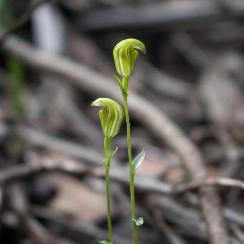 Tiny Greenhoods