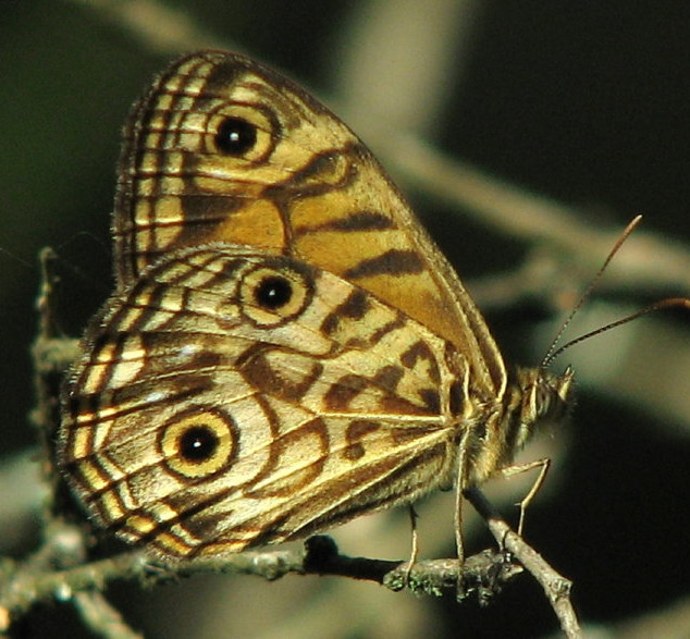 Ringed Xenica