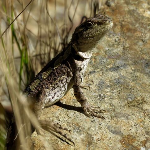 Jackie lizard