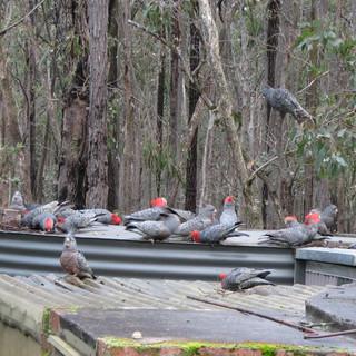 Gang-Gang Cockatoo    Photo - Frank Pier