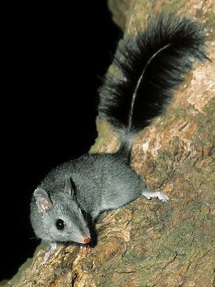 Brush-tailed Phascogale 1. Image - Ern M