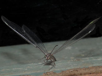 Antlion Lacewing.jpg