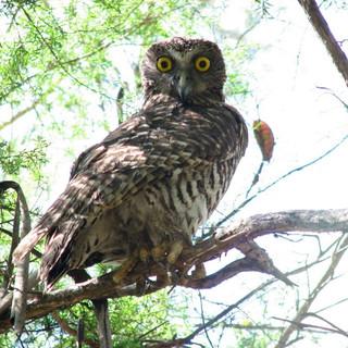 Powerful Owl    Photo - Frank Pierce.jpg