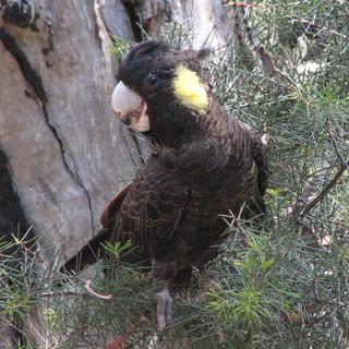 Yellow-tailed Black-Cockatoo    Photo -