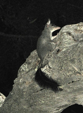 Tuan or Brush-tail phascogale