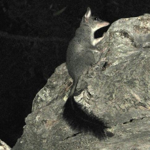 Tuan or Brushtailed Phascogale
