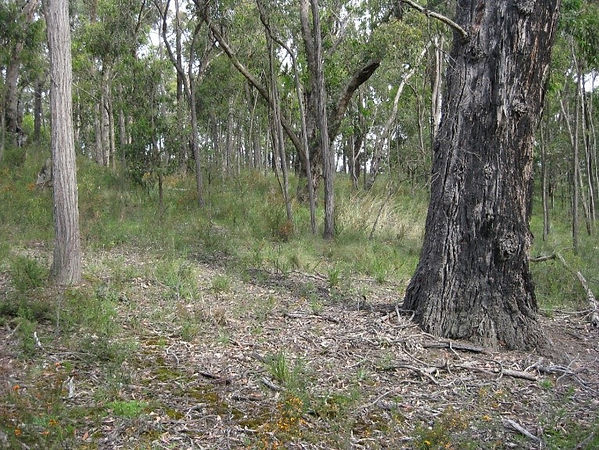 EVC Box Ironbark Forest.jpg