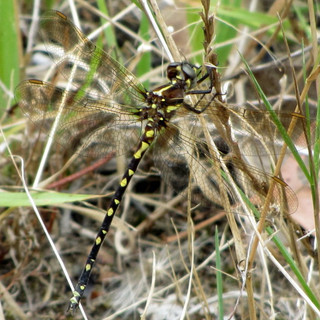 Swamp Tigertail