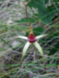 Wine-lipped Spider Orchid.jpg