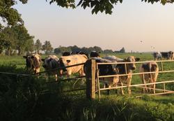 koeien ezinge