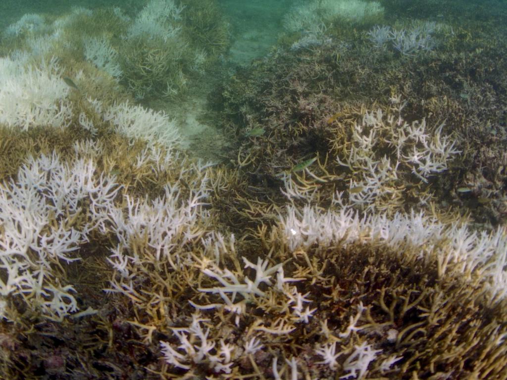 サンゴの白化現象(大浜礁池:1998年)