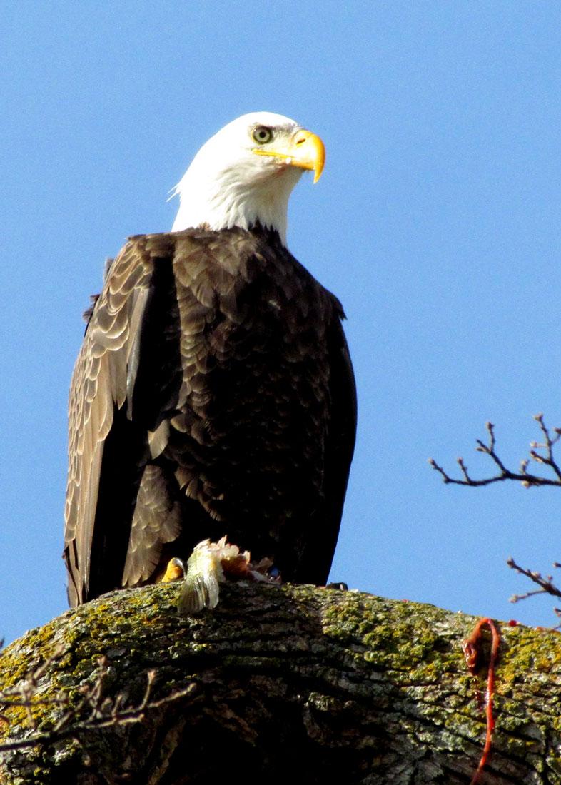 bald-eagle-dinner-1