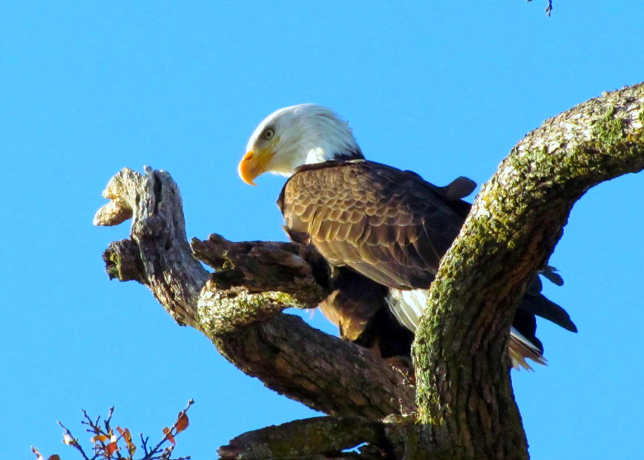 eagle Dec 2011 b
