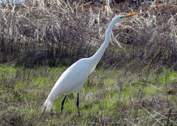 another rm egret