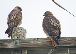 juvenile-eagles-2017