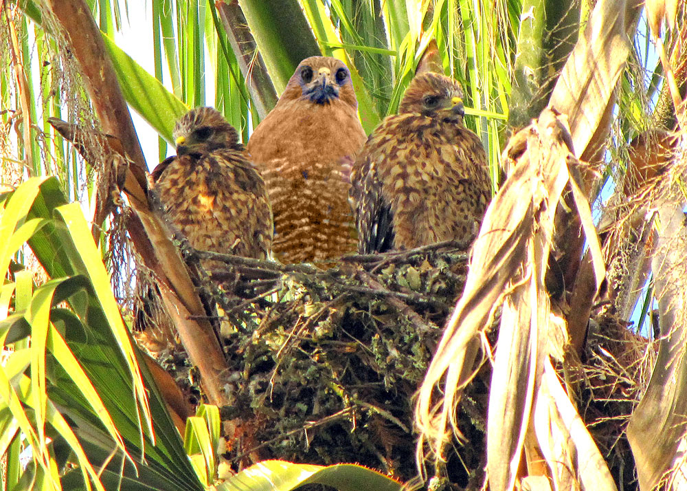 Mom & Juvenile Red Shouldered Hawks