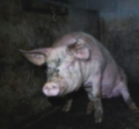 Depressed Pig.jpg