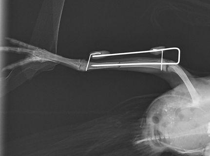 Rontgenfoto Operatie chirurgie gebroken poot vogel