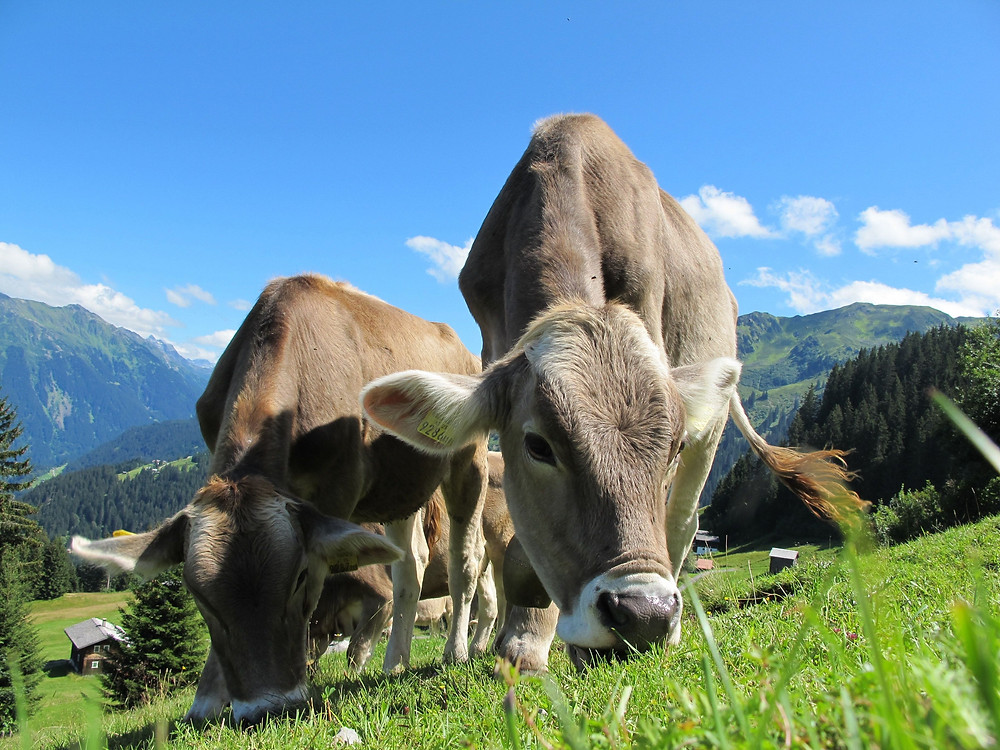 Cheese | Swiss cows milk | Switzerland