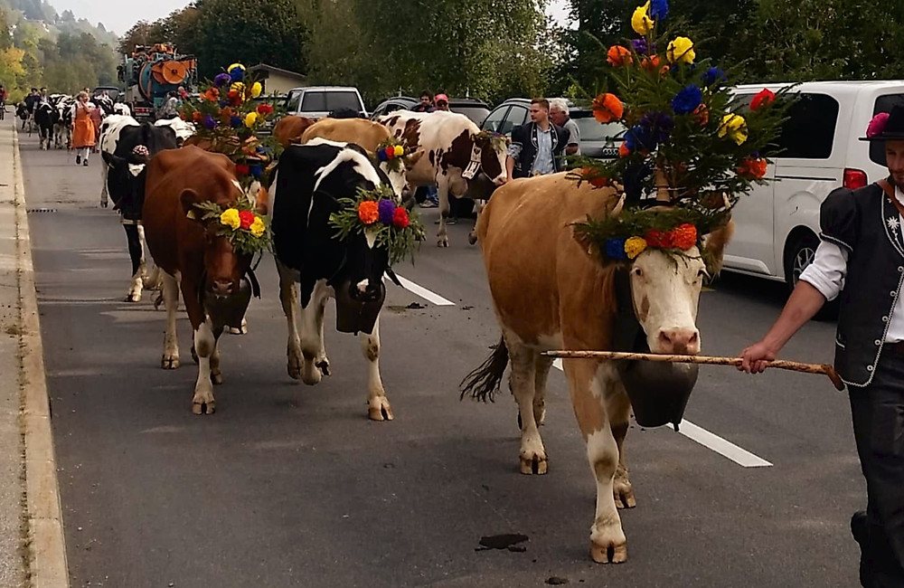 Cattle descend from the mountains | cow | swiss traditions