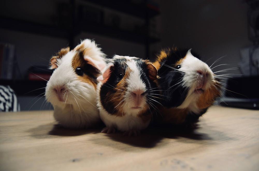 Guinea Pig   Swiss animal protection ordinance