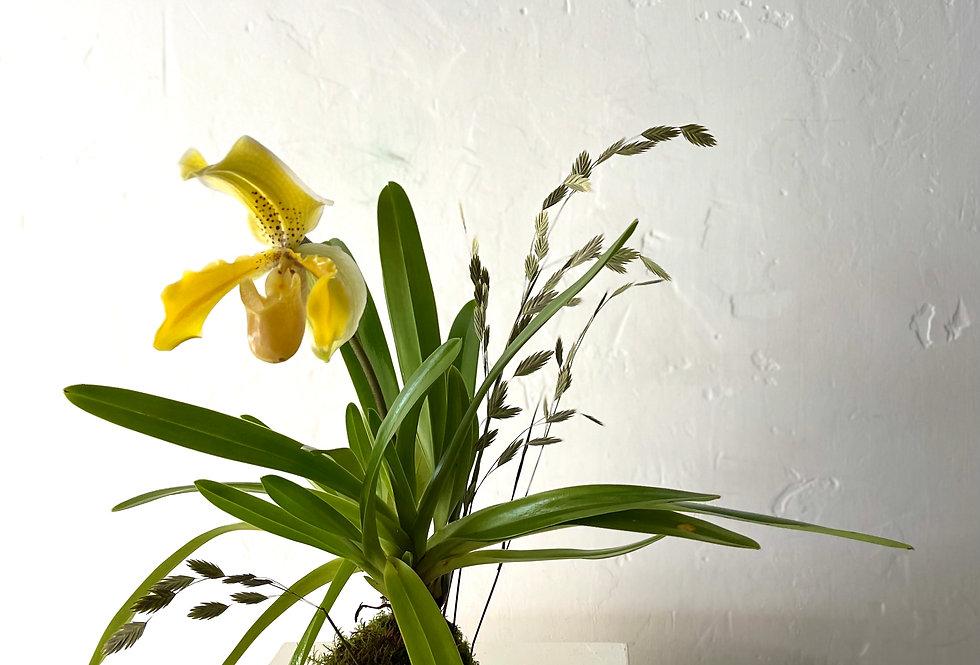 Rare Lady Slipper Orchid Kokedama