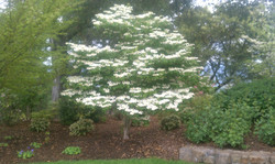 flowering dogwood.jpg