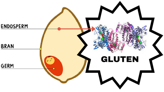 Gluten is the protein in a gran of wheat