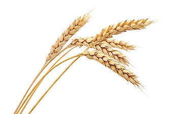 Wheat contains gluten