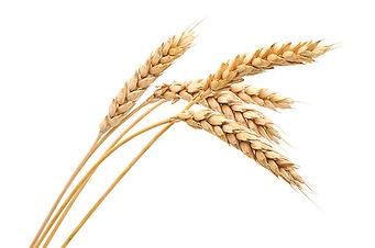 Wheat contains gluten