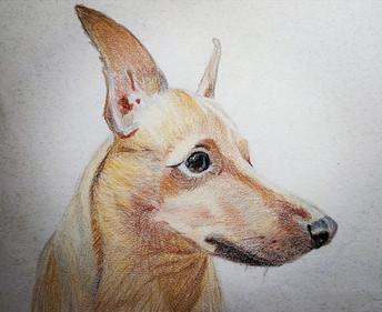 портрет цвергпинчера-1.jpg